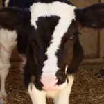 Czarny cielak, jałówka z umaszczeniem w postaci białej liczby 7 na głowie